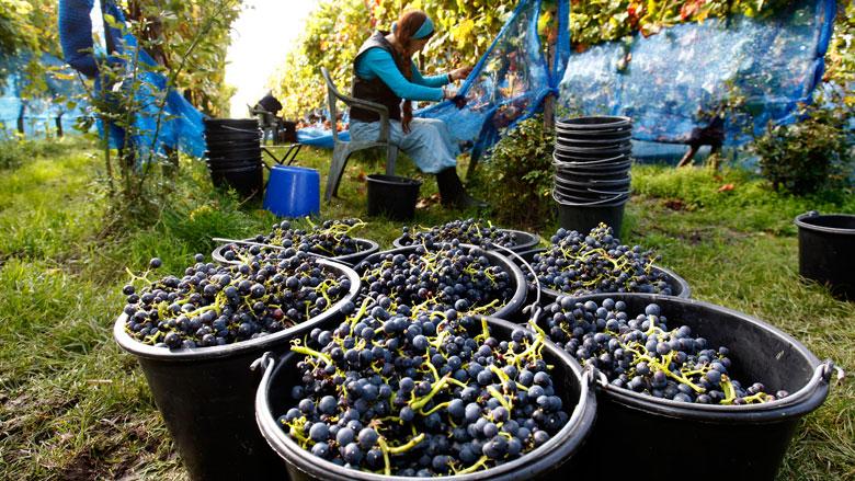 'Nederlandse wijn steeds beter'