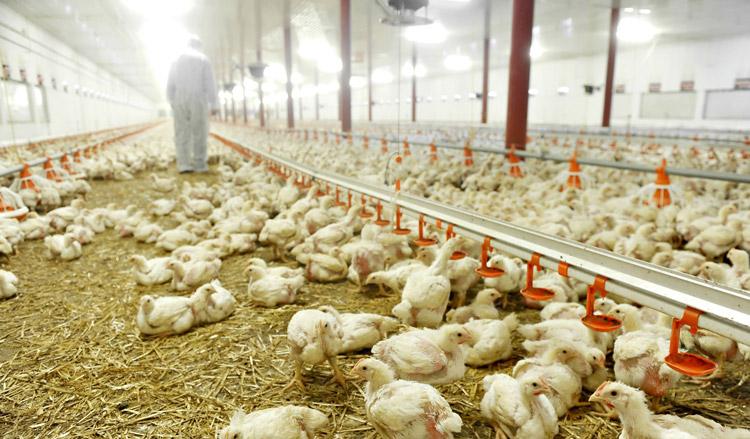 Verhoogde kans op longontsteking door pluimveehouderij