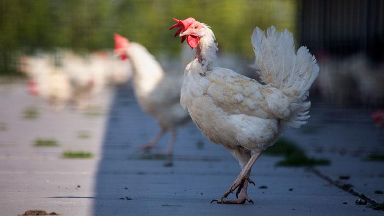 Pluimveebedrijven leven regels voor dierenwelzijn en voedselveiligheid niet na
