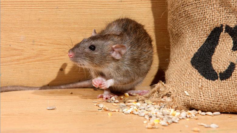 'Overheid kan toename rattenoverlast niet aan'