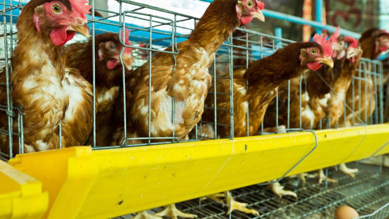 Scharrelei in je eiersalade is niet diervriendelijk