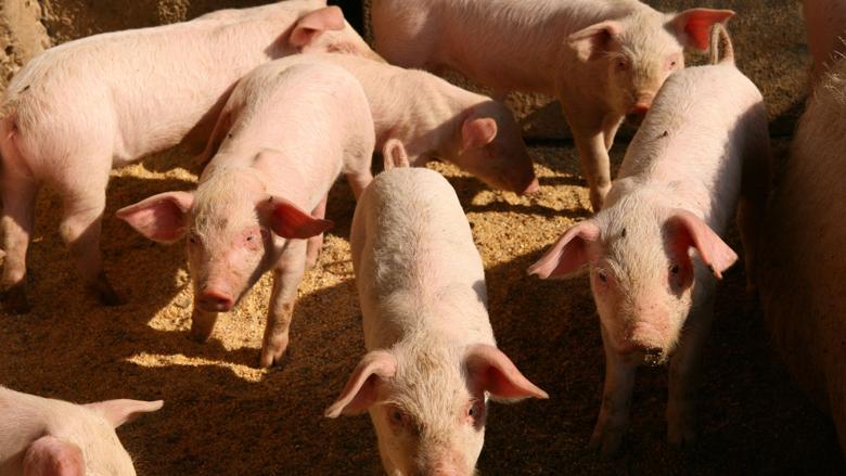 Varkens in Nood klaagt supermarkt Dirk aan