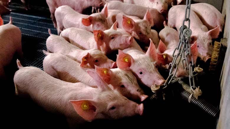 Supermarkt stunt weer met 'verbannen varkensvlees'