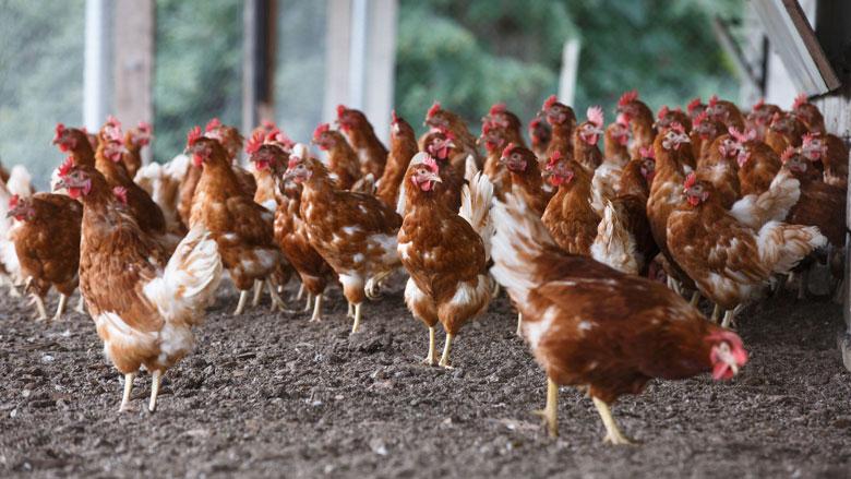 Te veel antibiotica en pijnstillers in veevoer