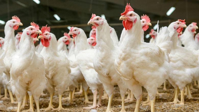 NVWA controleert kippenvlees op fipronil