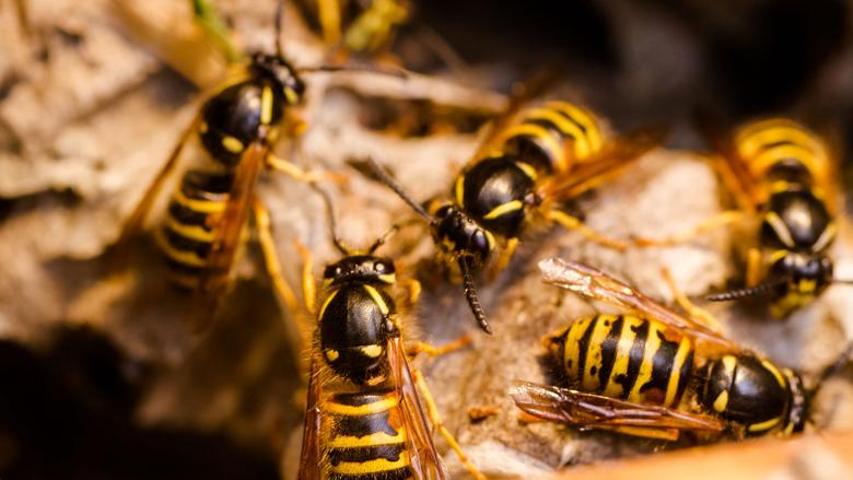 Verwacht: veel overlast van wespen