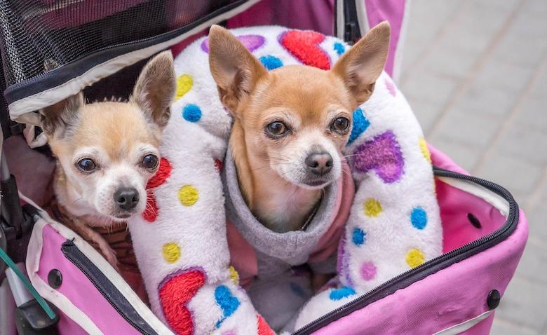 Levenslang zware hoofdpijn voor schattige kleine hondjes