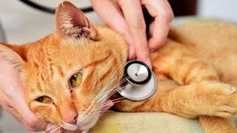 Coronavirus vastgesteld bij kat in België
