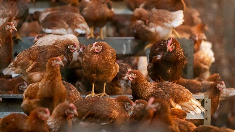 Reclame Code Commissie: Albert Heijn misleidend over kip