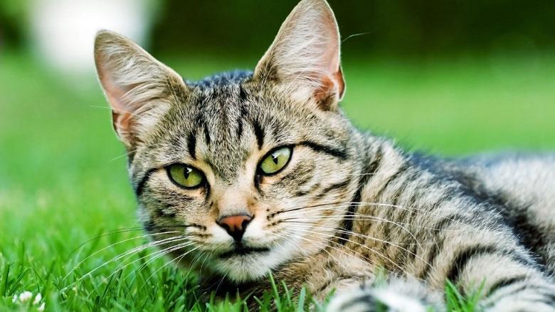 Kat maakt veel dierlijke slachtoffers: uitlaten of binnenhouden?