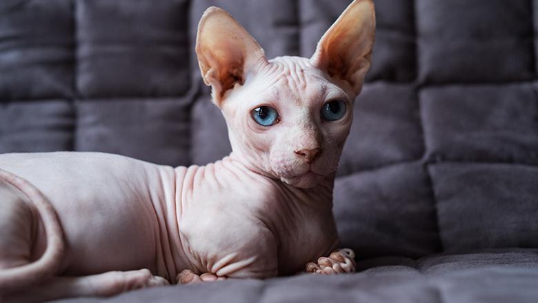 Eerste waarschuwing NVWA tegen 'designerkat'