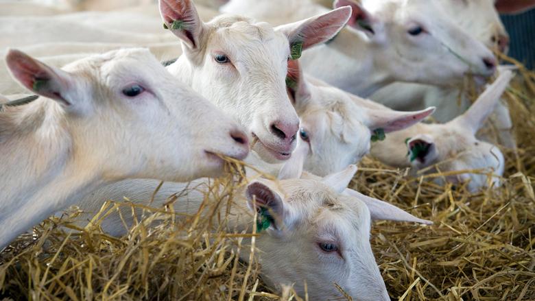 Nominaties Liegebeest om misleidende claims dierenwelzijn bekendgemaakt