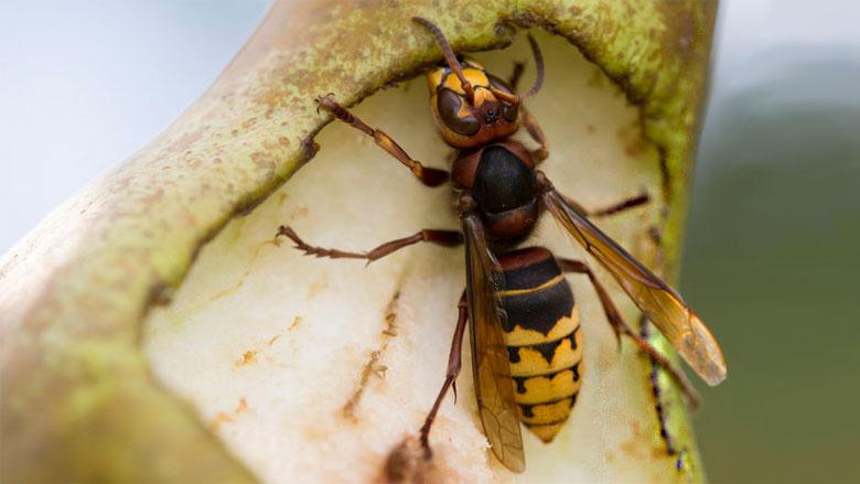 Hoe gevaarlijk is de hoornaar?