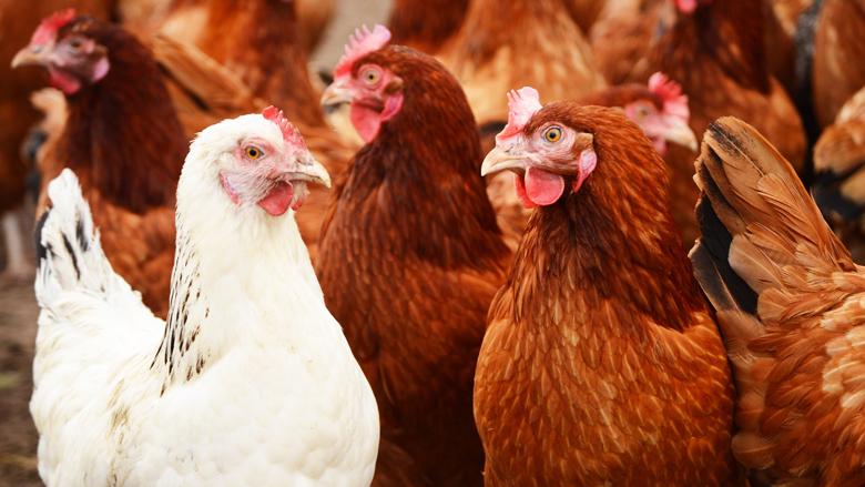 Meer supermarkten kiezen voor kip met minimaal één ster-Beter Leven