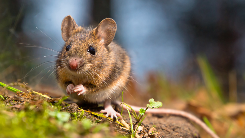 'Ratten- en muizenplaag dreigt door verbod op gif'