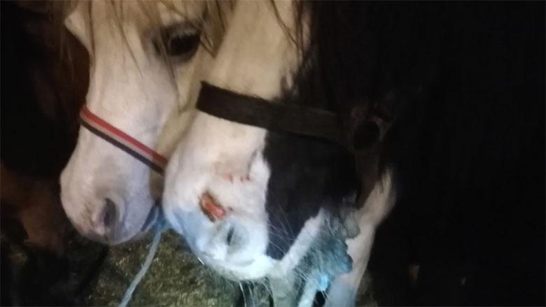 'Paardenmarkt Hedel is een nachtmerrie voor de dieren'